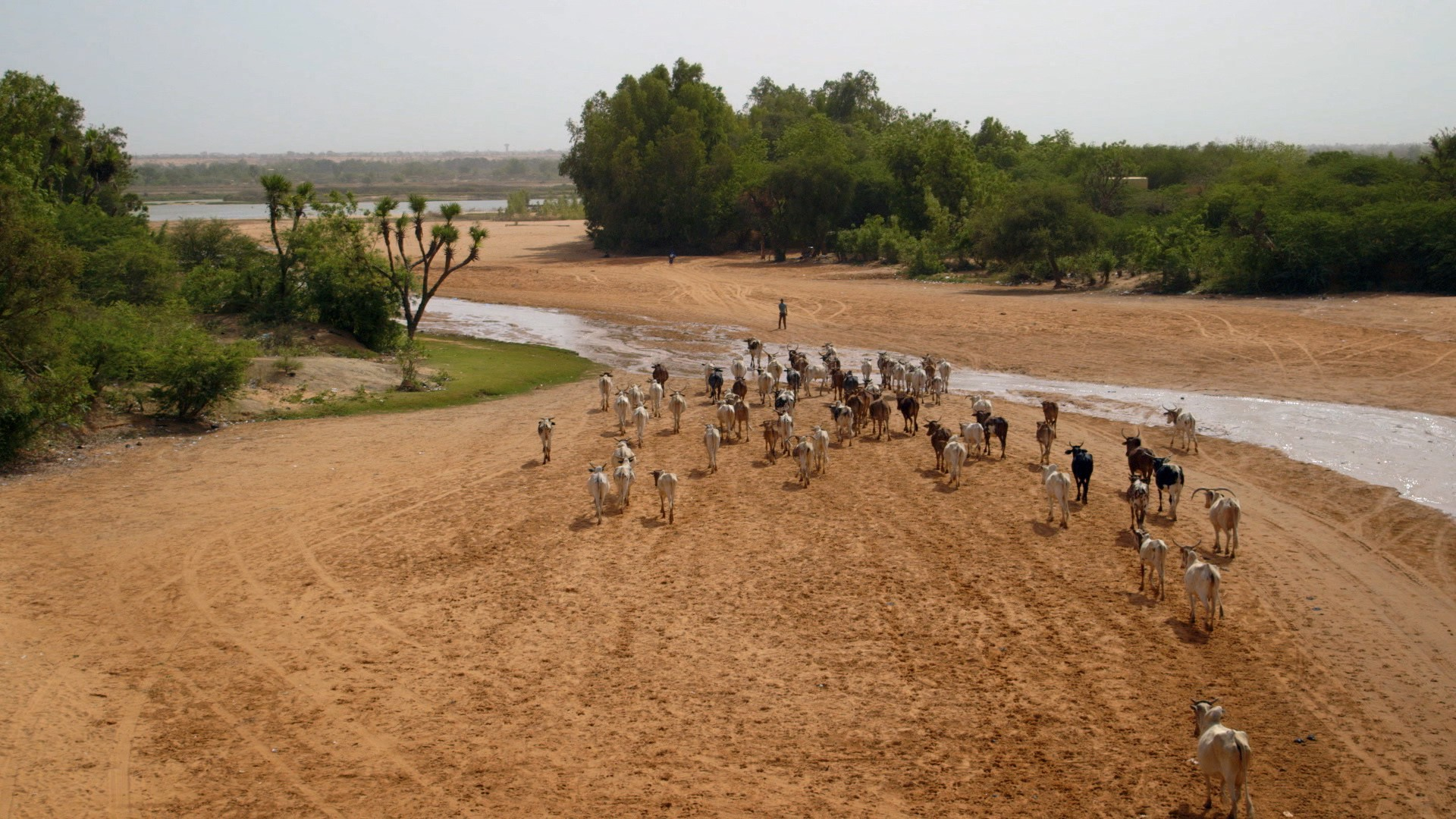 A person leads a herd of cattle across a stretch of steppe