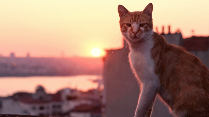 An orange and white cat looks into the camera. In the background, the setting sun shines over Istanbul.